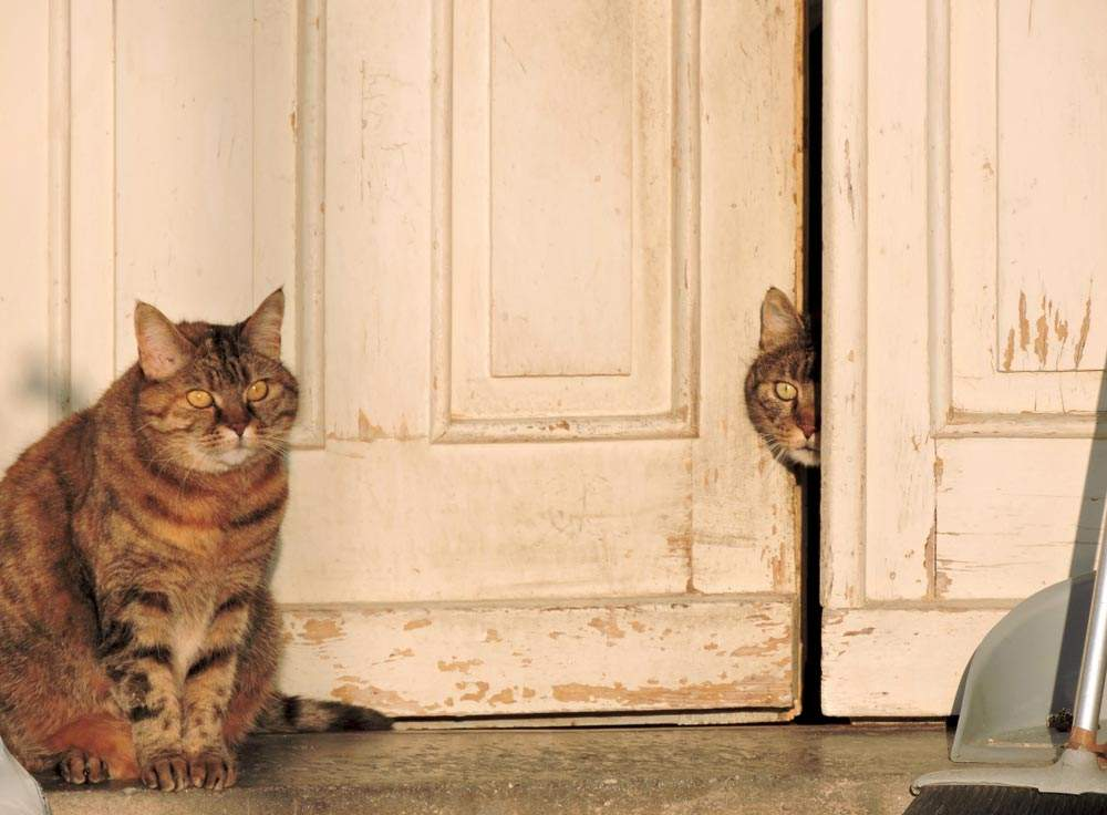 Shy Cat Club Program